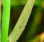 Calamus Herb,sex stimulation