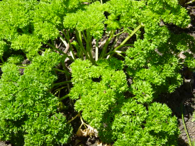 Parsley --Petroselinum crispum,sexually stimulating
