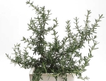 Rosemary --Rosmarinus officinales,erotic effect upon the skin