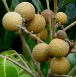 Longan,High nutritional content