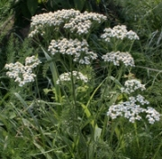 Yarrow herb,support vision quest